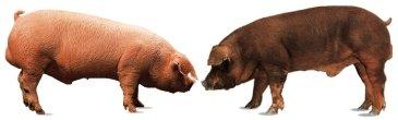 Das weiße Schwein (Landrace und Duroc)