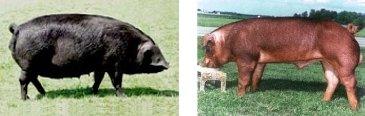 Large Black Schweine (links) und Duroc (rechts)