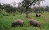 Schweine laufen frei auf einer Dehesa in Jabugo
