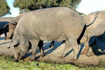 Das iberische Schwein (Retinto)